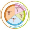 Состояние влагалища в разных фазах месячных