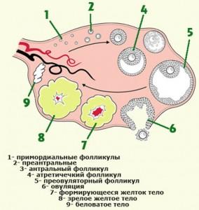 месячные при ановуляторном цикле